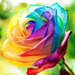 Rainbow Rose 1pc