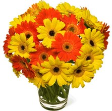 Circus Gerberas - 20 Stems In Vase